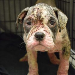 Puppy named Fancy found covered in mange in back of truck
