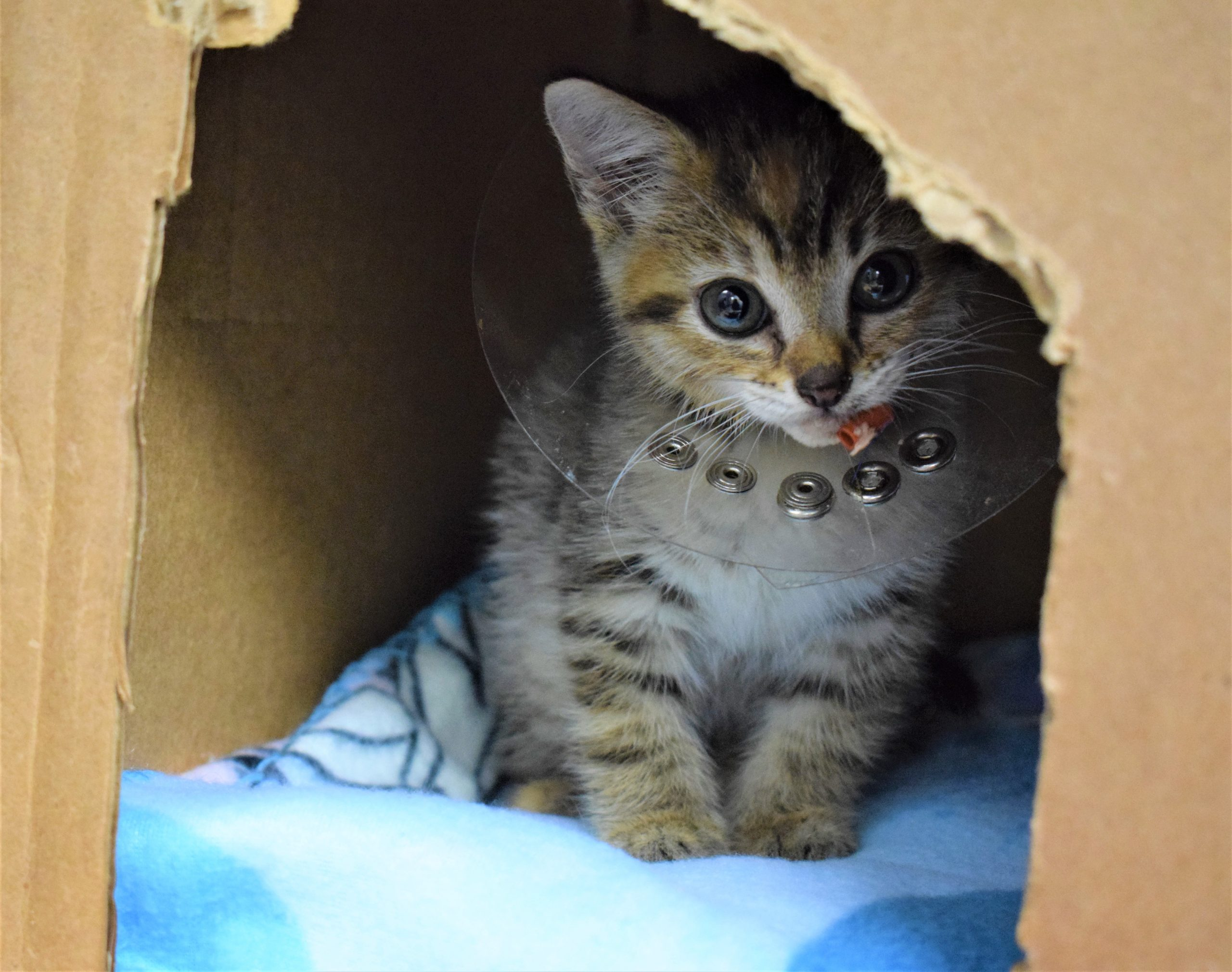 Kitten Named Chevy Rescued From Inside Car Engine